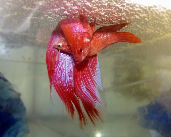 Betta splendens combattant poissons d aquarium for Nourriture combattant